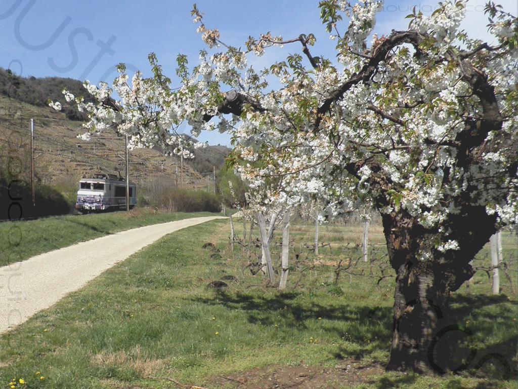 photographie prise le long de l' EuroVelo 17: Eurovélo 17 dans les vergers en fleur le long de la voie ferrée marchandises longeant la rive droite du Rhône